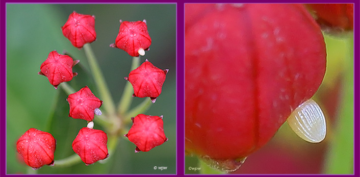 <2 close-up photos by Wolf P. Weber of (on the left) 3 pinhead size monarch butterfly eggs glued to the buds of vivid red milkweed flowers, plus another photo, a close-up of a single egg>