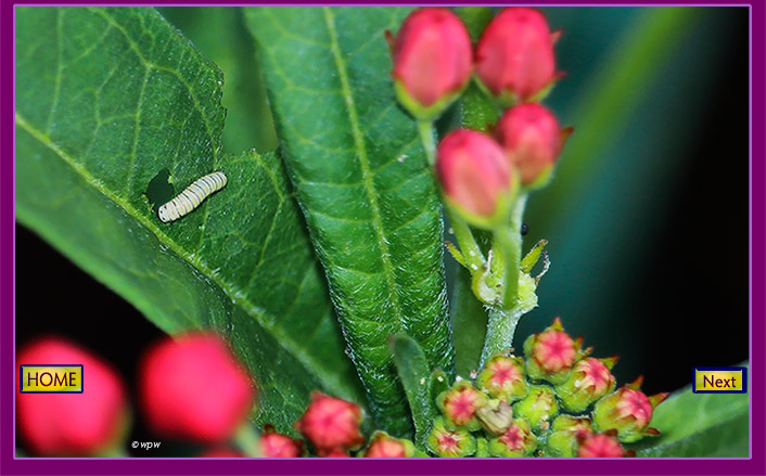<1 photo by Wolf P. Weber of a baby monarch butterfly (instar 1) caterpillar, feeding off a milkweed leaf.>